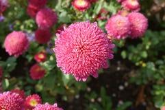 Chinensis rosa färgblommor för Callistephus Royaltyfri Fotografi