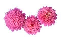 Chinensis rosa färgblommor för Callistephus som isoleras på vit Fotografering för Bildbyråer