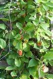 Chinensis Schisandra Royalty-vrije Stock Foto's