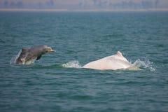 Chinensis utsatte för fara Sousa (delfin) Fotografering för Bildbyråer