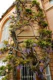 chinensis wisteria Στοκ φωτογραφίες με δικαίωμα ελεύθερης χρήσης