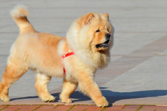 Chines chow chow dog is walking Stock Photo
