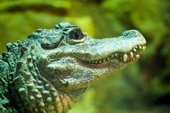 Chinese Alligator Stock Photo