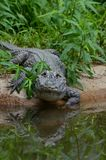 Chinese alligator Royalty Free Stock Photos