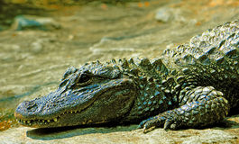 Chinese alligator Royalty Free Stock Images