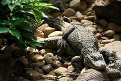 Chinese Alligator Stock Foto's