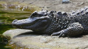 Chinese alligator stock video
