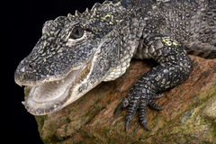 Chinese alligator (Alligator sinensis) Stock Photos