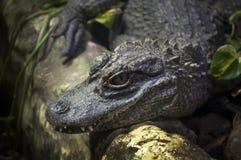 Chinese alligator Royalty Free Stock Photo