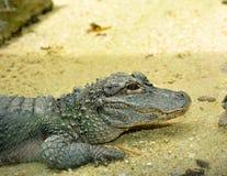Chinese Alligator. Close up of Chinese Alligator (Yangtze Alligator), selective focus Stock Photos