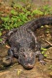 Chinese alligator Stock Image