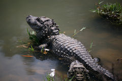 Chinese Alligator , Endangered Species. There are only 150 in the wild Stock Images