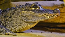 Chinese Alligator & x28; Krokodillesinensis& x29; stock fotografie