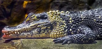 Chinese alligator 2. Chinese alligator. Latin name - Alligator sinensis Royalty Free Stock Photography