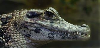 Chinese alligator 1 Stock Photography