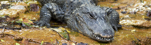 Chinese alligator lurking. Close up portrait of an Chinese alligator lurking on a river bank Stock Photography
