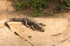 Chinese alligator lying down in the sun. Chinese alligator enjoying the sun Royalty Free Stock Image