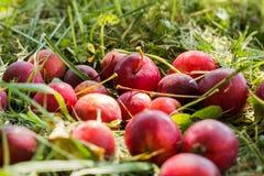 Chinese appelen op het gras Stock Foto