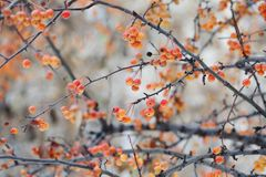 Chinese apple tree branches with apples. Malus prunifolia yellow orange fruits. Soft focus, shallow depth of field.  Stock Photo