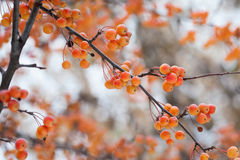Chinese apple tree branches with apples. Malus prunifolia yellow orange fruits. Soft focus, shallow depth of field Royalty Free Stock Photography