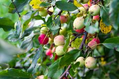 Chinese apples stock image