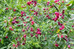 Chinese apples royalty free stock photography