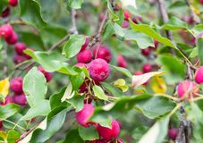 Chinese apples royalty free stock image