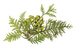Chinese Arborvitae Branch Seeds And Foliage On White. Royalty Free Stock Photography