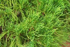 Chinese Arborvitae, Leaves of pine tree select focus with shallow depth of field Scientific Name Thuja Orientali. Chinese Arborvitae, Leaves of pine tree select Stock Image