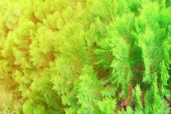Chinese Arborvitae, Leaves of pine tree select focus with shallow depth of field Scientific Name Thuja Orientali. Chinese Arborvitae, Leaves of pine tree select Stock Images