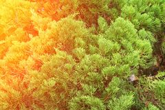 Chinese Arborvitae, Leaves of pine tree with sunset light Scientific Name Thuja Orientali. Chinese Arborvitae, Leaves of pine tree with sunset light. Scientific Royalty Free Stock Photography