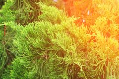 Chinese Arborvitae, Leaves of pine tree with sunset light Scientific Name Thuja Orientali. Chinese Arborvitae, Leaves of pine tree with sunset light. Scientific Royalty Free Stock Image