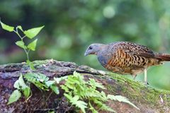 Chinese Bamboo Partridge Royalty Free Stock Image