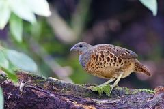 Chinese Bamboo Partridge Stock Photo
