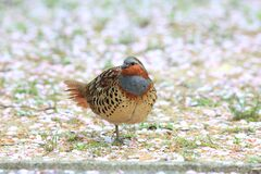 Free Chinese Bamboo Partridge Male In Japan Stock Images - 215107484