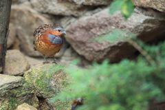 Chinese bamboo partridge. On the rock Stock Photos