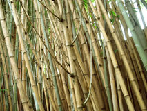 Chinese Bamboo wall. These are the sort of habitats that are great for pandas Stock Photography