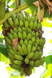 Chinese banana. Musaceae Musa (Musaceae) (Musa) plant, and that its fruit, the tropics widely cultivated edible. Flavour, nutrition, and constant availability in Royalty Free Stock Photography