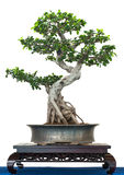 Chinese banjan as bonsai treee Royalty Free Stock Image
