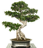 Chinese banyan as bonsai tree Royalty Free Stock Photography