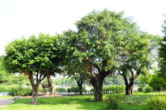The chinese banyan tree grove Royalty Free Stock Images