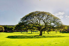 Chinese Banyan trees. At National Memorial Cemetery-Pacific in Honolulu Hawaii royalty free stock photography
