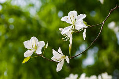 Chinese Bauhinia Royalty Free Stock Image