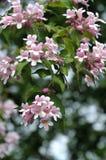 Chinese beauty bush. Kolkwitzia amabilis ( Rosea Beauty Bush or Chinese Beauty Bush) is a bush full of bell-shaped flowers Stock Images
