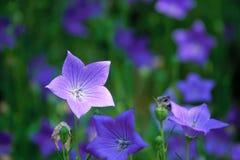 Chinese bellflower royalty-vrije stock fotografie