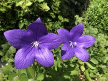 Chinese bellflower, also known as balloon flower in blue purple shade, summer in Europe. Chinese bellflower, also known as balloon flower in blue purple shade stock photo