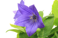Chinese bellflower in  a white background Royalty Free Stock Photo