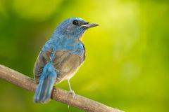 Chinese Blue Flycatcher Stock Image
