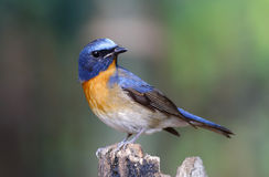 Chinese Blue Flycatcher Cyornis glaucicomans Stock Photography