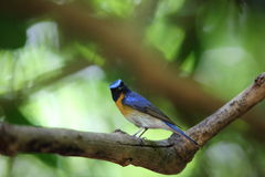 Chinese Blue Flycatcher Royalty Free Stock Images